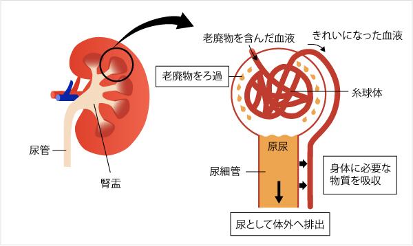 腎炎 原因 腎盂