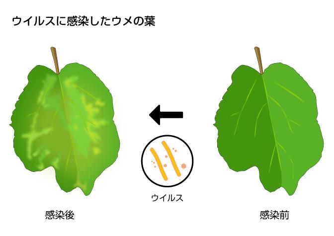 ウイルスに感染したウメの葉