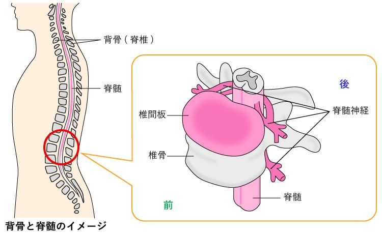 背骨と脊髄のイメージ