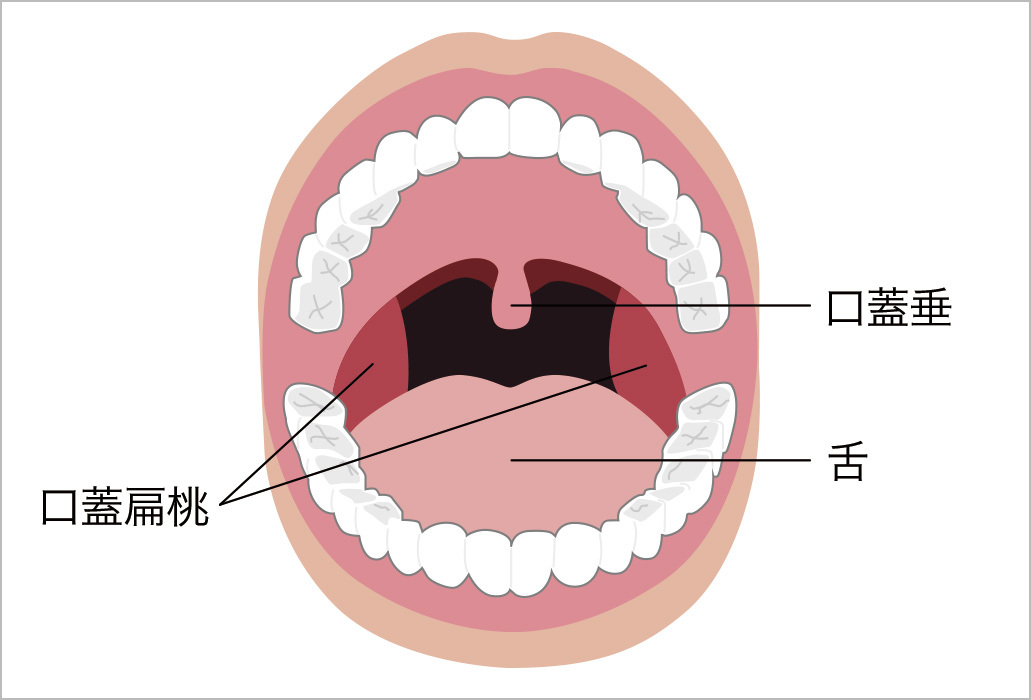 口腔の正面図